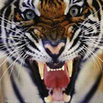 Tigre Enfadado